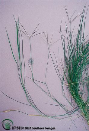 Bermudagrass Photo