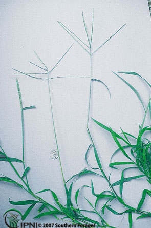 Crabgrass Photo