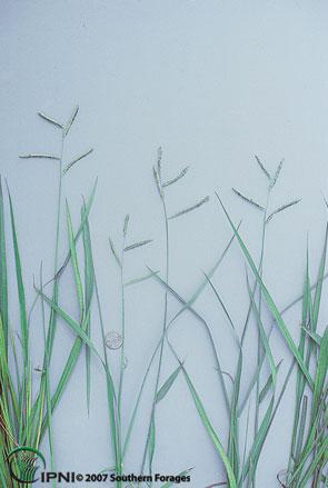 Dallisgrass Photo