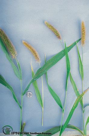 Foxtail Millet Photo