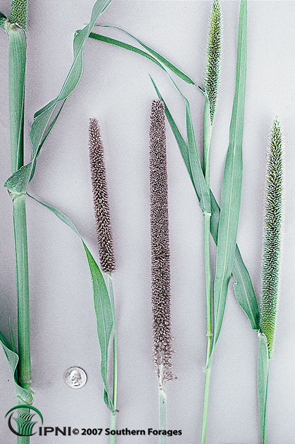 Pearl Millet Photo