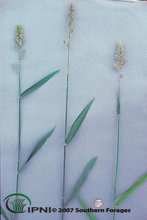 Reed Canarygrass Photo