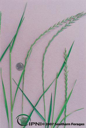 Annual Ryegrass Photo