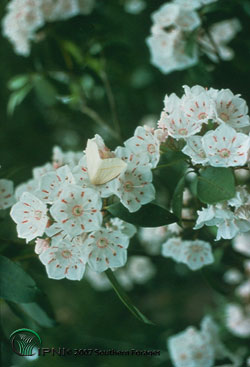 Mountain Laurel, Ground Ivy, or Bush Ivy Photo