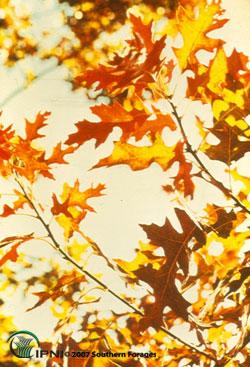 Oaks Photo