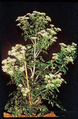 Poison Hemlock Photo