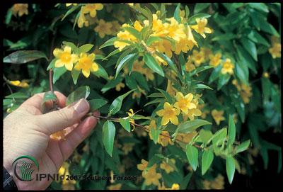 Yellow Jessamine or Carolina Jessamine Photo