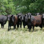 Heifers